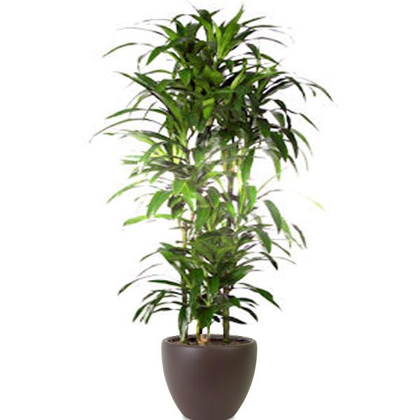 Dracaena Janet Craig Cane Plant Jungle