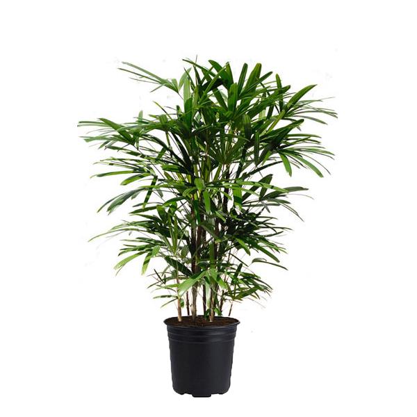 Rhapis Palm Plant Jungle